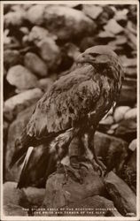 The Golden Eagle of the Scottish Highlands