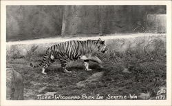 Tiger, Woodland Park Zoo