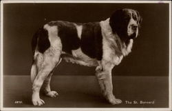 The St. Bernard