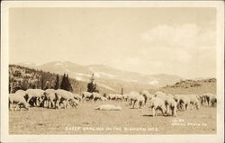 Sheep Grazing in the Bighorn Mountains