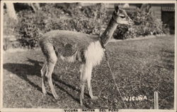 Vicuna Native
