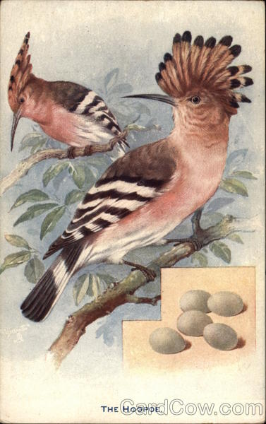 The Hoopoe - British Birds and their Eggs