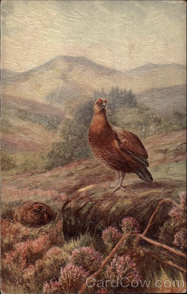 Red Grouse Birds