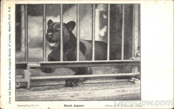 Black Jaguar W.S. Berredge