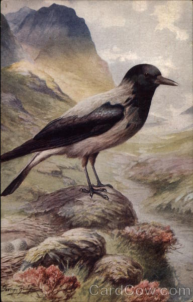 Hooded Crow Birds