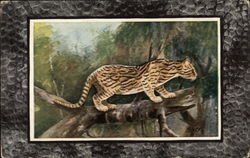 Ocelot on a Tree Branch