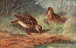 Game Birds: the Common Snipe