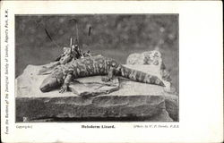 Heloderm Lizard on Rock