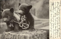 Two bear cubs on tree stump