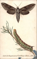 Pine Hawk Moth and Caterpillar
