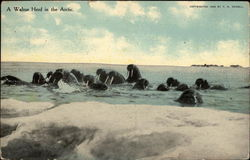 A Walrus Herd in the Arctic