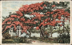 Royal Ponciana Tree