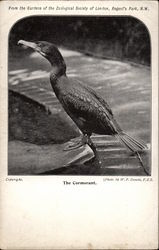 The Cormorant From the Gardens of the Zoological Society of London