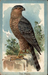 The Kestrel Hawk