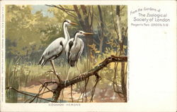 Common Herons