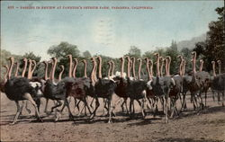 Passing In Review at Cawston's Ostrich Farm