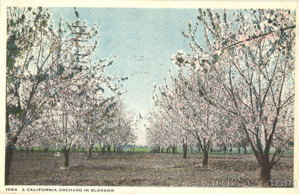 A California Orchard In Blossom Scenic