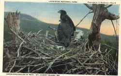 American Eagles In Nest, Lafayette National Park