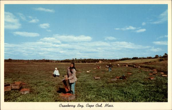 Cranberry Bog at Picking TIme Cape Cod Massachusetts