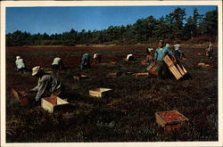 Cranberry Picking Time