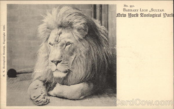 Barbary Lion, Sultan, New York Zoological Park