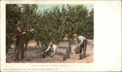 Picking Prunes in Southern California