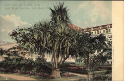 Screw Pine and Gardens of the Hotel Royal Poinciana