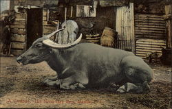 A Carabao, His Noon Day Rest