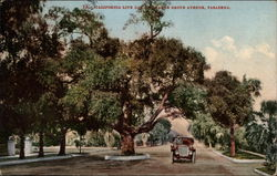 California Live Oak on Orange Grove Avenue