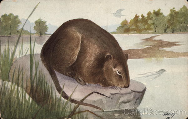 Muskrat on a Rock by a River