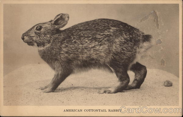 American Cottontail Rabbit