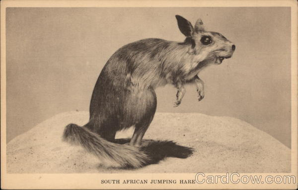 South African Jumping Hare