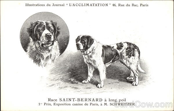 Race Saint-Bernard a Long Poil Saint Bernards