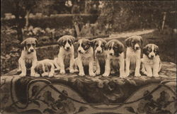 Eight St. Bernard Puppies
