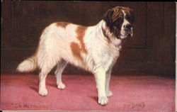St. Bernard on Red Carpet