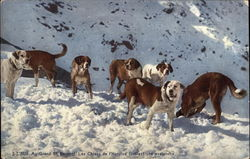 St. Bernard Dogs - Searching an Avalanche
