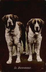 Two St. Bernards