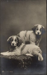 Two Saint Bernard Puppies