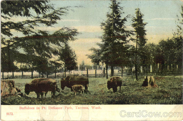 Buffaloes In Pt. Defiance Park Tacoma Washington
