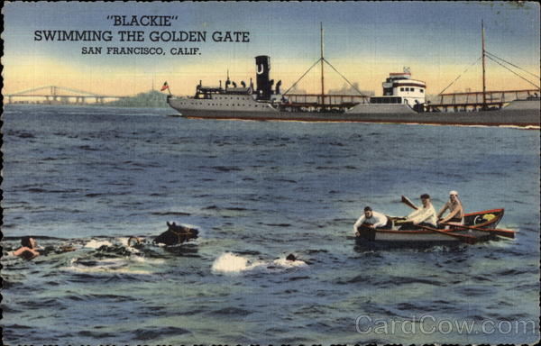 Blackie Swimming the Golden Gate San Francisco California
