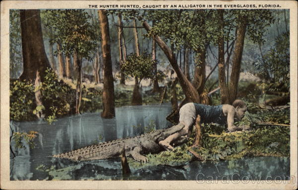 The Hunter Hunted, Caught by an Alligator in the Everglades Florida