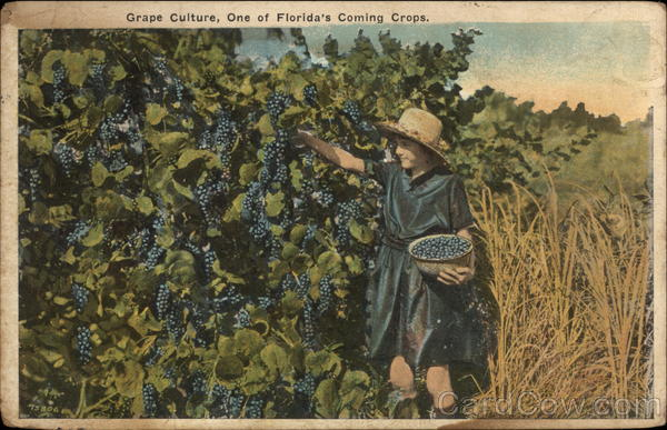 Grape Culture, One of Florida's Coming Crops