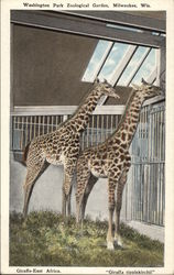 "Giraffe - East Africa, ""Giraffa tipplekirchii"" - Washington Park Zoological Gardens"