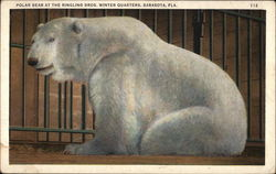 Polar Bear at the Ringling bros. Winter Quarters