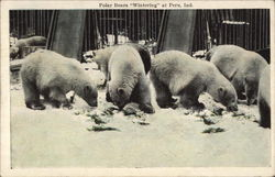 "Polar Bears ""Wintering"""