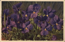 Purple Flowers: the Long-spurred Violet