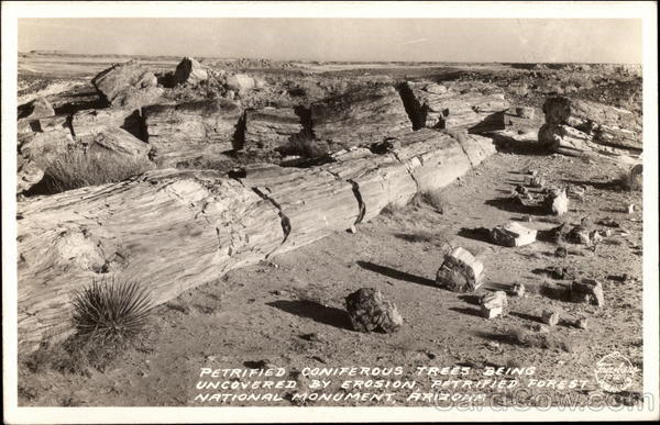 Petrified Coniferous Trees Uncovered by Erosion Petrified Forest National Monument Arizona