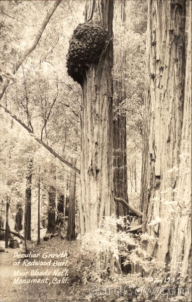 Peculiar Growth of Redwood Burl, Muir Woods Mill Valley California