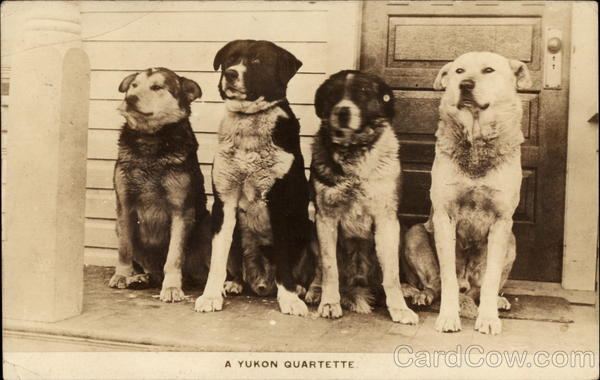 A Yukon Quartette - Dogs