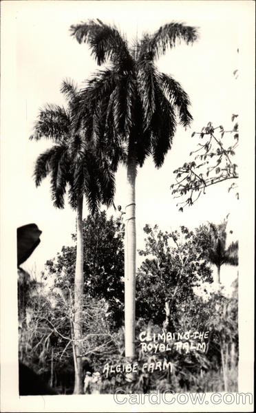 Climbing the Royal Palm, Algibe Farm Havanah Cuba